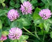 Trifolium_pratense-04[1].jpg